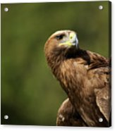 Close-up Of Golden Eagle With Head Turned Acrylic Print