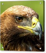 Close-up Of Golden Eagle With Turned Head Acrylic Print