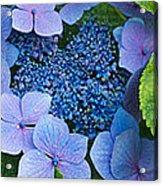 Close-up Of Hydrangea Flowers Acrylic Print
