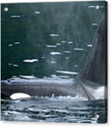 Close-up Of Killer Whale In Johnstone Acrylic Print
