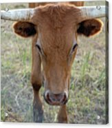 Close Up Of Longhorn Head Through Fence Acrylic Print