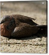 Close-up Of Mottled Pigeon On Sandy Ground Acrylic Print