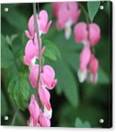 Close Up Of Peacock Pink Bleeding Hearts On Hunter Green Foliage 2 Acrylic Print