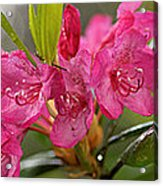 Close-up Of Pink Horatio Flowers Acrylic Print