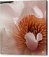 Close-up Of Pink Ladies Flowers Acrylic Print