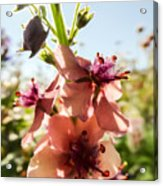 Close-up Of Pink Mullein Flowers Acrylic Print