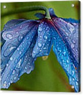 Close-up Of Raindrops On Blue Flowers Acrylic Print