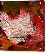 Close-up Of Raindrops On Maple Leaves Acrylic Print