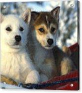 Close Up Of Siberian Husky Puppies Acrylic Print