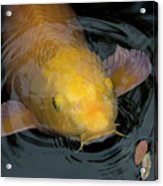 Close Up Of Single Large Yellow Koi Fish With Whiskers Acrylic Print