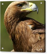 Close-up Of Sunlit Golden Eagle Looking Back Acrylic Print