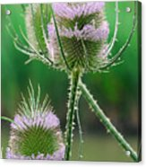 Close Up Of Teasel Blossoms Revealing Acrylic Print
