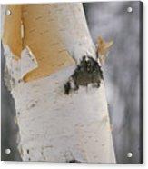 Close-up Of The Bark Of A Birch Tree Acrylic Print by Vlad Kharitonov