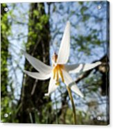 Close-up Of White Trout Lily Acrylic Print