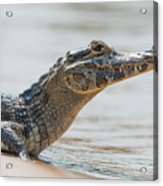 Close-up Of Yacare Caiman On Sandy Beach Acrylic Print