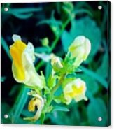 Close Up Of Yellow Wild Flowers Acrylic Print