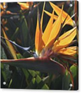 Close Up Photo Of A Bee On A Bird Of Paradise Flower  Acrylic Print