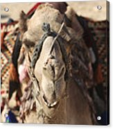 Close-up Portrait Of A Camel Acrylic Print