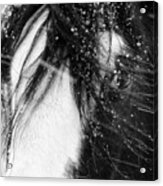 Close Up Portrait Of A Horse In Falling Snow Acrylic Print