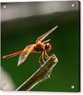 Close Up Red Dragonfly Acrylic Print