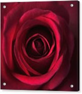 Close Up Red Roses Flowers Art Work Photography Acrylic Print