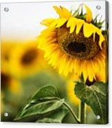 Close Up Single Sunflower In South Dakota Acrylic Print