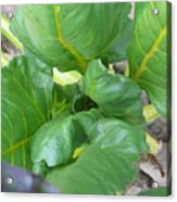 Close Up With Chard Acrylic Print