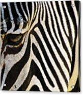 Close Up Zebra Acrylic Print