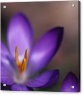 Close View Of A Purple African Violet Acrylic Print