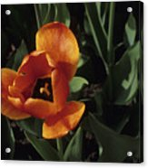 Close View Of A Tulip Acrylic Print