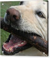 Close View Of A Yellow Lab With Worn Acrylic Print by Stacy Gold