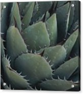 Close View Of An Agave Plant Acrylic Print