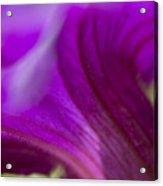 Close View Of Purple Petunia Acrylic Print