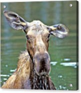 Close Wet Moose Acrylic Print