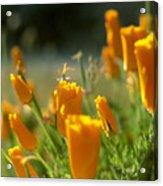 Closed California Poppies Acrylic Print