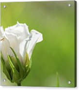 Closed White Flower. Acrylic Print