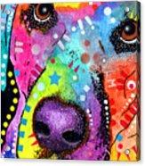 Closeup Labrador Acrylic Print