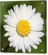 Closeup Of A Beautiful Yellow And White Daisy Flower Acrylic Print