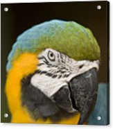Closeup Of A Captive Blue-and-yellow Acrylic Print