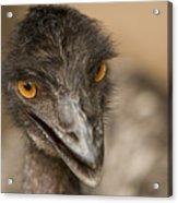 Closeup Of A Captive Emu Acrylic Print