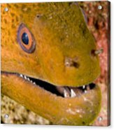Closeup Of A Giant Moray Eel Acrylic Print