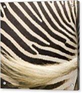 Closeup Of A Grevys Zebras Rear End Acrylic Print