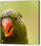 Closeup Of A Scaly-breasted Lorikeet Acrylic Print