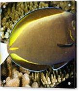 Closeup Of A Whitecheek Surgeonfish Acrylic Print by Tim Laman