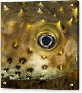 Closeup Of A Yellowspotted Burrfish Acrylic Print by Tim Laman