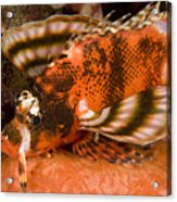 Closeup Of An Ocellated Lionfish Acrylic Print