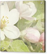 Closeup Of Apple Blossoms In Early Acrylic Print