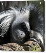 Closeup Of Black And White Angolian Primate Sleeping On Log Raft Acrylic Print