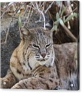 Closeup Of Bobcat Acrylic Print