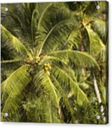 Closeup Of Coconut Palm Trees Acrylic Print